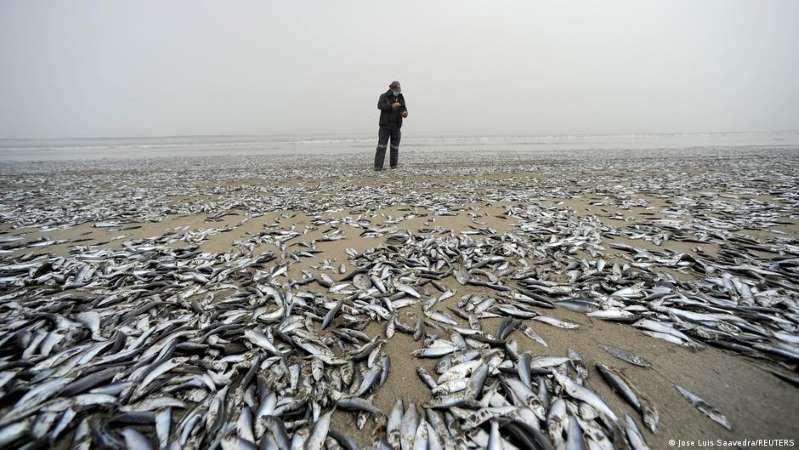 Miles de peces aparecieron muertos en una playa del sur de Chile