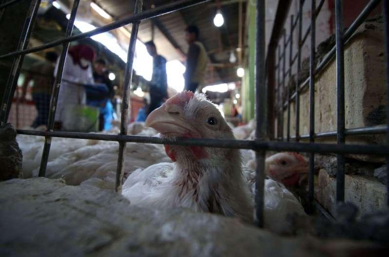 Rusia reporta primer caso de gripe aviar transmitido de gallinas a humanos