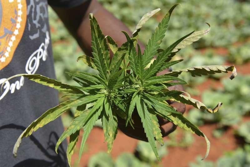Preocupación en Jamaica. ¡Escasea la marihuana!