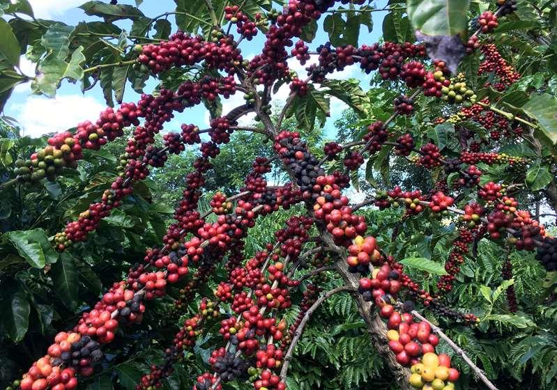 Nueva cosecha de café de Brasil se está vendiendo más rápido que el año pasado