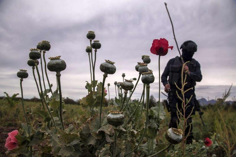 México clasifica en el tercer lugar mundial entre los productores de opio, según la ONU