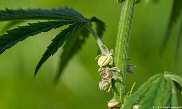 Colombia autoriza exportar flor de cannabis con fines medicinales